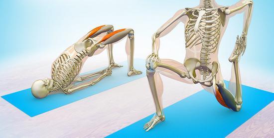 Строение мышц бедра у женщин. Мышцы бедра: функции и строение