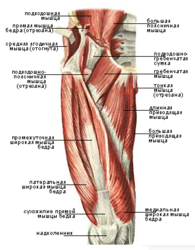 La estructura de los músculos de la cadera en las mujeres. Músculos ...