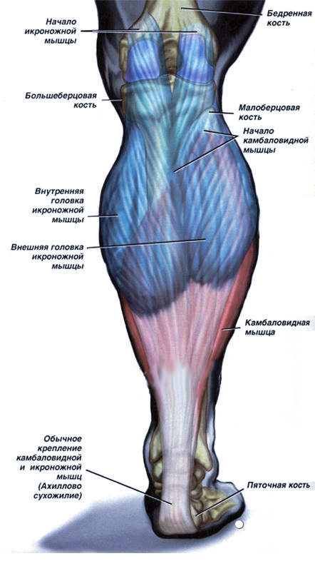 Un dolor en los músculos de las piernas. Anatomía de los músculos de ...