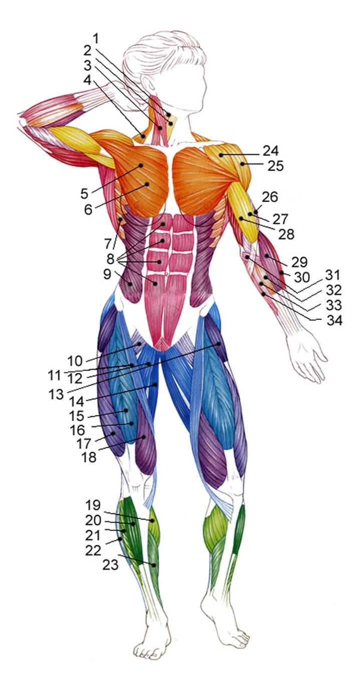 Músculos y sus nombres. Ejercicios con pesas para los bíceps en ...