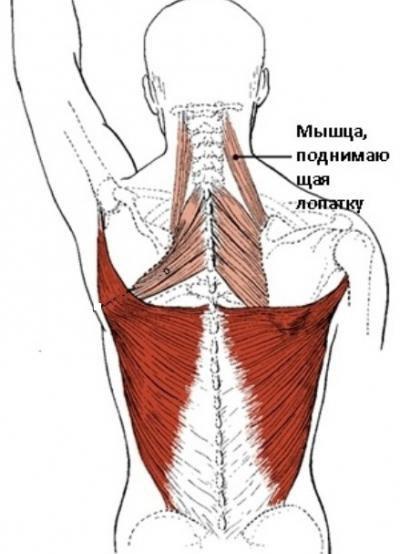 El músculo que levanta la escápula es la anatomía y los ejercicios ...