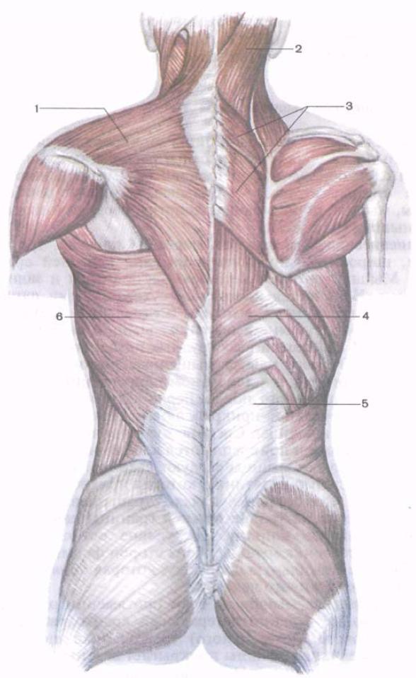 Los músculos de la espalda son ejemplos. ¿Cuáles son los músculos ...