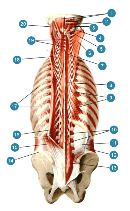 Por qué duele el músculo que levanta la escápula? Cómo desarrollar ...