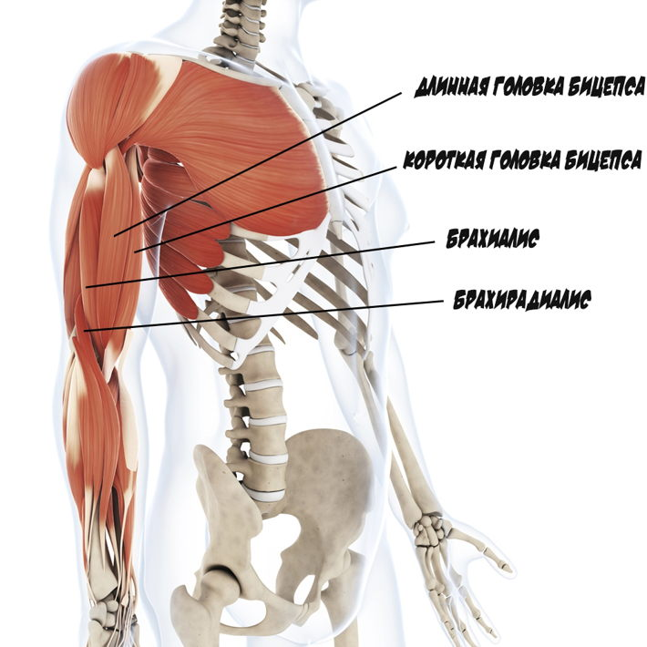 Músculos de la anatomía del bíceps. Músculos de manos y su entrenamiento